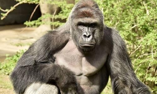 Con khỉ đột Harambe bị bắn chết hôm 18/5. Ảnh: Cincinnati Zoo