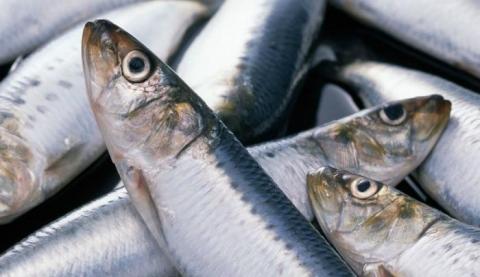 Nếu khi ấn nhẹ vào cá mà thấy mềm mại thì có khả năng cá không chứa formol. (Ảnh minh họa).