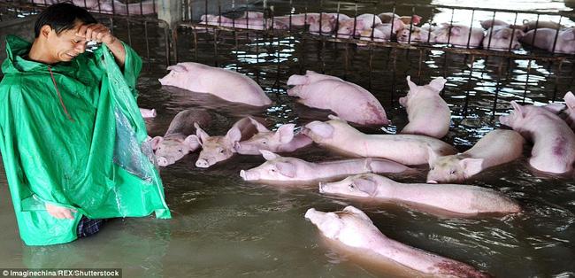 Trong trận ngập lụt nghiêm trọng tại Trung Quốc mới đây, người ta không khỏi xót xa khi chứng kiến hình ảnh một người đàn ông với vẻ mặt khốn khổ đang khóc ròng bên đàn lợn 6.000 con đang bị nhấn chìm giữa biển nước ở huyện Thư Thành, thành phố Lục An, tỉnh An Huy.