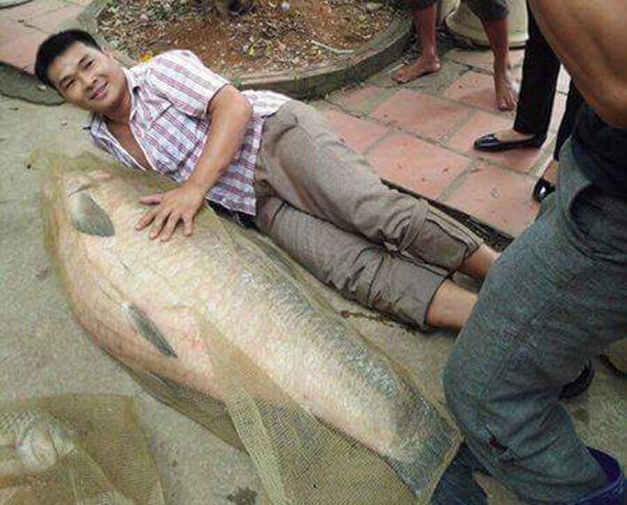 Con cá trắm có chiều dài gần bằng người đàn ông (ảnh: Người dân cung cấp)