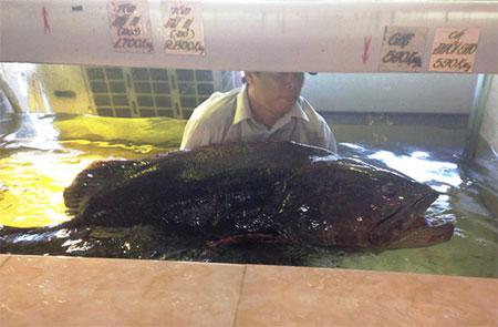 Con cá mú nghệ nặng gần 100kg, dài 1,7m vừa được ngư dân Côn Đảo bắt được.