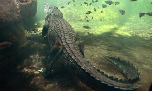 Một phụ nữ bị cá sấu nước mặn tha đi khi bơi trong đêm. Ảnh minh họa: Mirror.