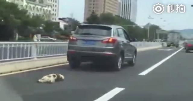Chú chó trắng bị buộc chặt vào chiếc SUV bằng 1 sợi dây.