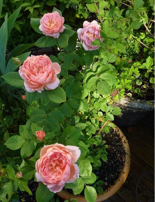 Hoa hồng leo hay còn gọi là hoa hồng dây