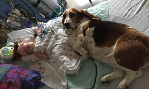 Một trong hai con chó săn của gia đình nằm cạnh bé Nora trên giường bệnh. Ảnh: Facebook.