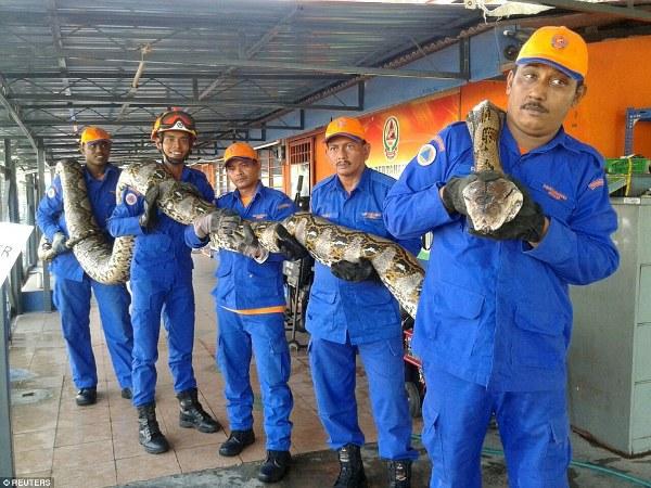 Theo lời nhân viên dịch vụ xã hội Malaysia thì con trăn gấm này dài hơn 8m và nặng hơn 250kg.