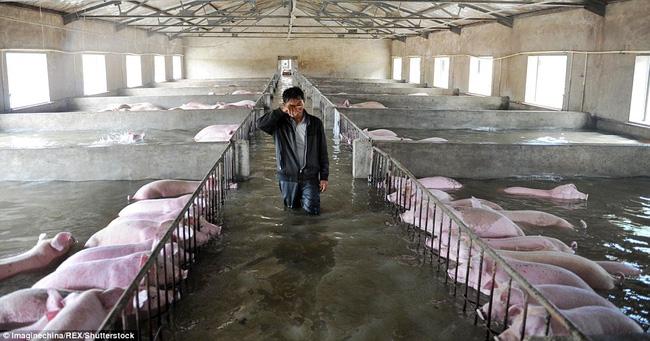 Trận lũ lụt nghiêm trọng đã nhấn chìm cả nông trại với 6.000 chú lợn béo tốt cùng ánh mắt ngơ ngác. Do các quy định về phòng chống dịch bệnh, công nhân ở đây không được phép di chuyển đàn lợn.