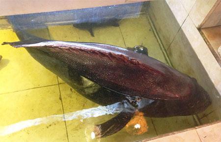 Hiện con cá được một hệ thống nhà hàng quận 4 và quận 7 (TP HCM) thu mua.