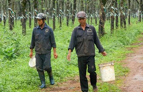 Ngành cao su gặp nhiều khó khăn vì giá rớt thê thảm. Trong ảnh: Công nhân thu hoạch cao su.