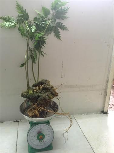 Đặc biệt là loại củ tươi nguyên và vẫn còn nguyên lá, cành, hoa như củ anh vừa mới mua được.