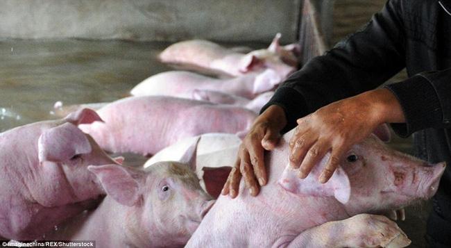 Phải mất 20 tiếng sau khi hàng nghìn chú lợn bì bõm dưới dòng nước, lực lượng cứu hộ mới kịp thời tới ứng cứu. Sau rất nhiều nỗ lực, họ cũng chỉ cứu được vài con.