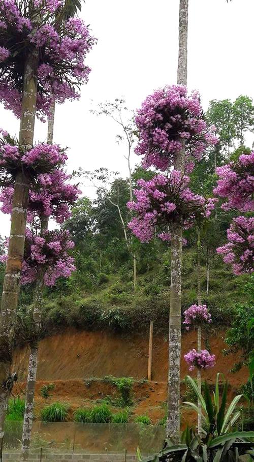 Anh Quang cho biết, đây là loài lan bản địa được anh lấy trong rừng về trồng. Hoa sinh trưởng tốt, chịu nắng, gió. Chỉ tiếc nhất là vào mùa hoa nở mà gặp phải trận mưa rào là tan tành hết. Còn nếu không bị mưa, hoa nở gần cả tháng, ngắm nhìn rất thích mắt.