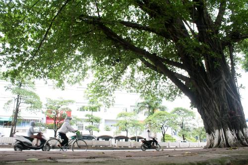 Trên đường Kim Mã, ven hồ Thủ Lệ chỉ giữ lại và cắt tỉaduy nhất một cây đa cổ thụ vì nằm ở đoạn cua không ảnh hưởng nhiều đến thi công. Ảnh:Bá Đô