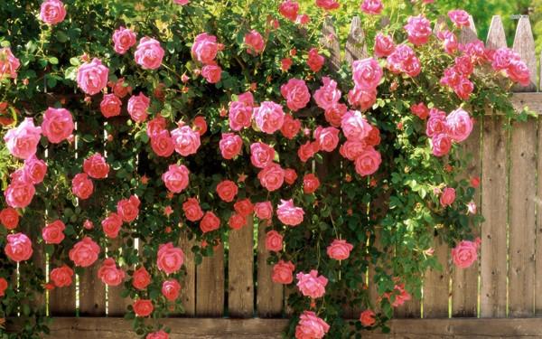 Nếu biết cách uốn nắn nhẹ nhàng bạn có thể tạo ra dàn hoa hồng leo tuyệt đẹp.