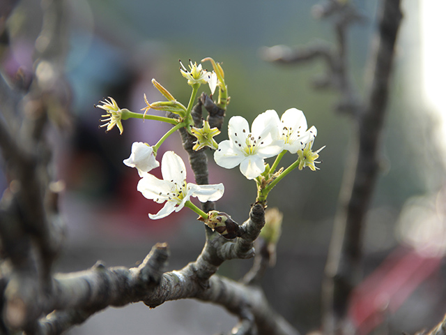 Hoa lê có 5 cánh màu trắng với tinh khôi.