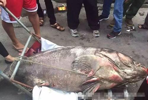 Rất nhiều người ghen tị với du khách may mắn câu được cá mú khổng lồ. Tuy nhiên, rất có thể khu du lịch sinh thái và du khách này sẽ gặp rắc rối bởi theo chính sách bảo tồn động vật hoang dã của tỉnh Quảng Đông, cá mú khổng lồ hoang dã là một trong những động vật chủ chốt cần được bảo vệ.