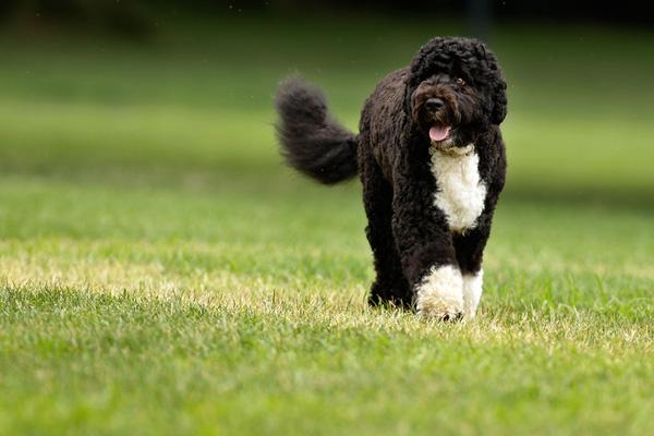 Chú chó cưng của hai tiểu thư nhà Obama khiến ông nhiều phen khốn đốn.