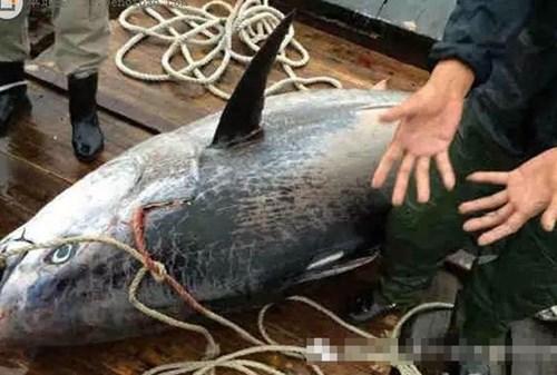 Vào năm 2015, tại Huệ Châu, Quảng Đông, Trung Quốc ngư dân đã từng bắt được một con cá ngừ vây xanh khổng lồ nặng tới 340kg.