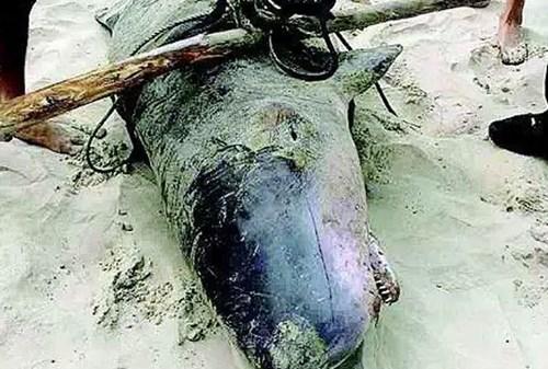 Thời gian đó, con quái ngư này đã từng làm xôn xao dư luận một thời gian. Nhiều người cho rằng Quảng Đông là vùng biển lành nên xuất hiện nhiều cá khủng.