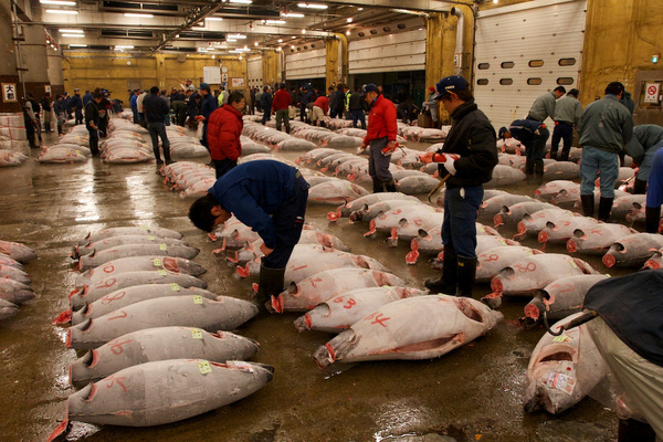 Những con cá ngừ này sẽ được đem ra chợ để bán đấu giá.