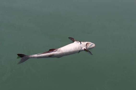 Cá nuôi lồng chết, trôi dạt trên đầm Lập An ngày 15/4. Ảnh: Sở Tài nguyên và Môi trường