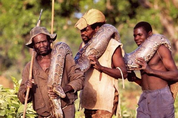 Những thợ săn vác chiến lợi phẩm về làng