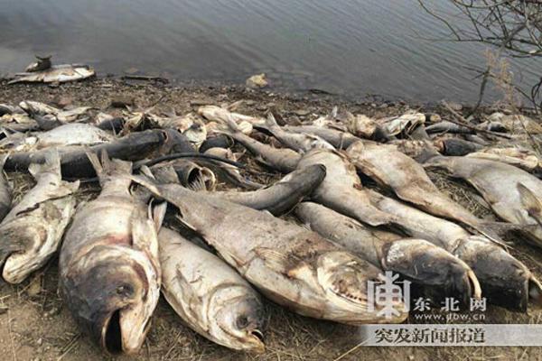Tỉnh Hắc Long Giang cũng hứng chịu đại nạn cá chết.