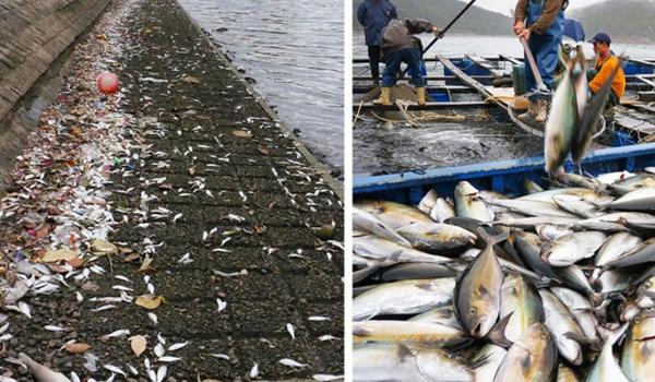 Cá chết hàng loạt được phỏng đoán do ô nhiễm môi trường nước.