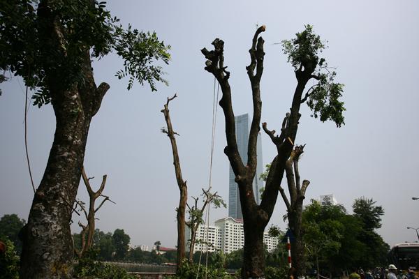 Hình ảnh những cây đầu tiên đã được cắt tỉa cành chờ di dời.