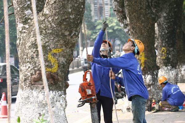 Sáng nay, các công nhân đã bắt đầu chặt tỉa 3 cây cổ thụ.