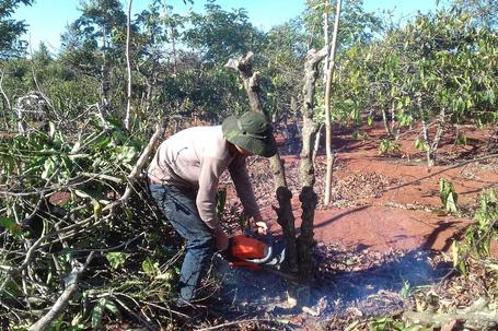 Nông dân chặt cây cà phê. Ảnh: Hoàng Thanh
