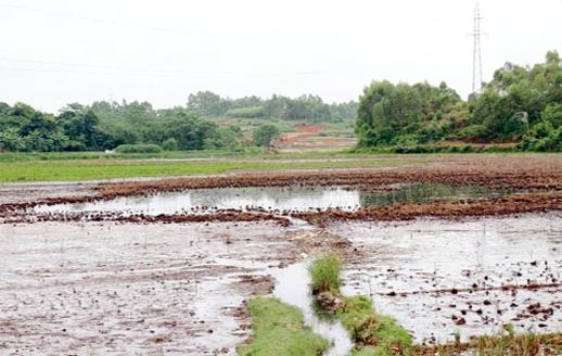 Nguồn nước bị ô nhiễm từ nhà máy xử lý rác thải khiến cho đất canh tác của người dân xã Phượng Lâu, TP Việt Trì bị ảnh hưởng. Ảnh: V.Hùng