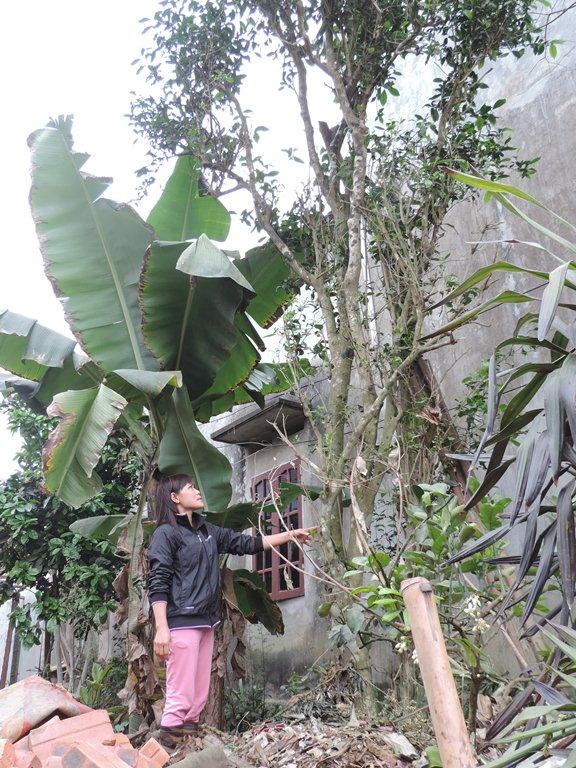 Chị Vinh giới thiệu với phóng viên về cây chè 200 tuổi. Ảnh: Ngọc Thi