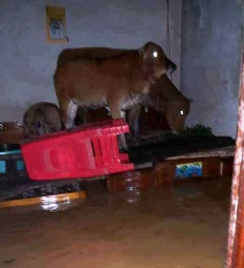 Nước ngập nhà, người dân phải cho gia súc trú trên giường. Ảnh: B.N