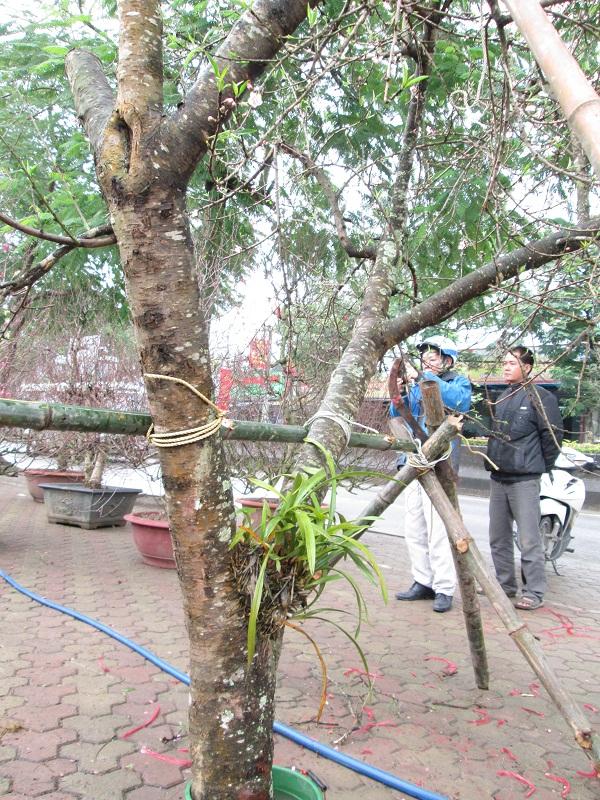 Cây đào rừng có lan ký sinh này bán với giá 10 triệu đồng và vẫn đang kén người mua