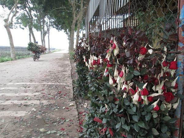 Trong khi đó, nhiều bó hoa vẫn đang phải xếp xó chờ người mua. Hoa nở sớm khiến người nông dân càng khó bán hơn.