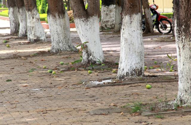 Một cảnh tượng khó bắt gặp khi mà xoài nằm tràn lan trên vỉa hè mà không mấy ai còn thèm hái về ăn khiến trái rụng cả vỉa hè. Ảnh: Phan Ngọc