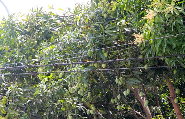Những chùm xoài lơ lửng treo trên vỉa hè các con phố thành Vinh. Cây xoài được xem là một trong những loại cây trồng đô thị nhiều ở Nghệ An. Mỗi năm vào mùa xoài vẫn thường cho trái, tuy nhiên chưa năm nào xoài lại nhiều như năm nay. Ảnh: Phan Ngọc