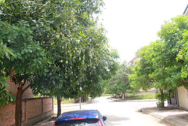 Theo thống kê, TP.Vinh hiện nay có khoảng gần 29 nghìn cây xanh với 25 loại cây như sao đen, bằng lăng, ngô đồng, bàng, xà cừ, xoài... Với những đặc điểm nổi bật của cây xoài, nhiều tuyến đường phố trên địa bàn TP.Vinh hiện nay vẫn còn được phủ mát bằng cây xoài. Ảnh: Phan Ngọc