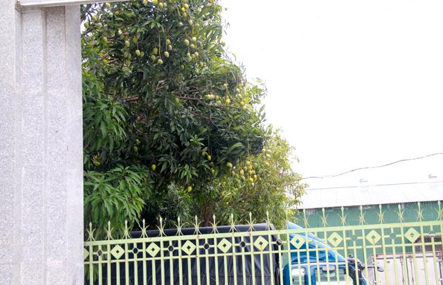 Những gốc xoài hơn chục năm tuổi vốn được trồng tạo bóng mát làm nơi đỗ xe trong các công ty, xí nghiệp năm nay cũng kết trái nặng trĩu. Ảnh: Phan Ngọc