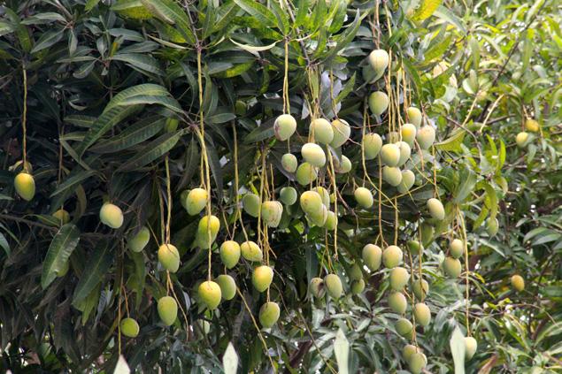Theo ông Lập, xoài bắt đầu cho ra hóa từ tháng 3, năm nay lại gặp thời tiết thuận lợi, không mưa. Đây là lần đầu tiên xoài ở Nghệ An cho trái nhiều đến như vậy. Do khí hậu khắc nhiệt nên ở Nghệ An xoài chủ yếu chỉ được trồng để tạo bóng mát, một vài người trồng ít cây xoài trong vườn cũng để lấy quả ăn chứ chưa có ai trồng xoài thương phẩm với quy mô lớn. Ảnh: Phan Ngọc