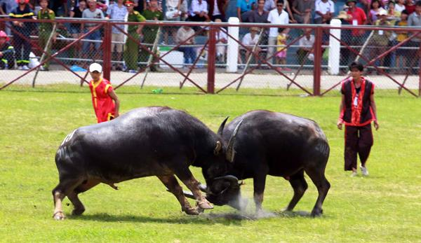 Kháp đấu giữa 2 ông trâu (ảnh tư liệu)
