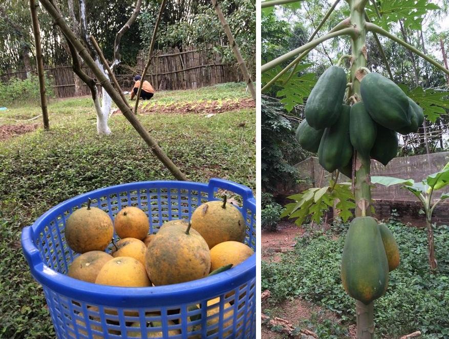 Một góc nhỏ trong vườn cũng được dùng để trồng rau, nhưng chủ yếu vẫn là những loại cây ăn quả.