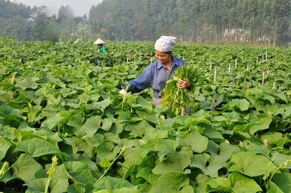 Người dân Tam Đảo thu hoạch rau su su trên các thửa ruộng tại thị trấn.
