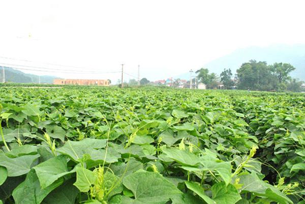 Do được thiên nhiên ưu đãi quanh năm mát mẻ nên rau su su được người dân Tam Đảo trồng luôn luôn xanh tốt và phát triển nhanh.