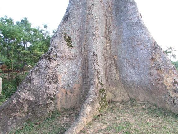 Thân cây rất to với đường kính hơn 2m