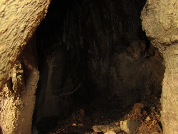 Thân cây có có lỗ hổng lớn có thể chứa từ 4 đến 5 chiến sỹ ẩn náu