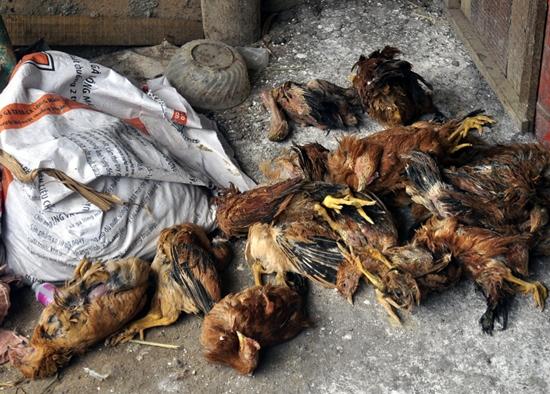 """Chưa tìm ra nguyên nhân """"gà ăn cá rồi chết"""" ở Đà Nẵng. Ảnh minh họa"""