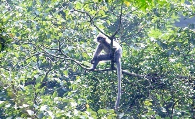 Để chụp được ảnh đàn voọc một cách sinh động nhất ông Hải mất nhiều thời gian ăn nằm trong rừng
