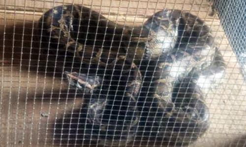 Con trăn cái 30 kg được ông Phước bỏ vào chuồng nuôi. Ảnh: Hoàng Nam